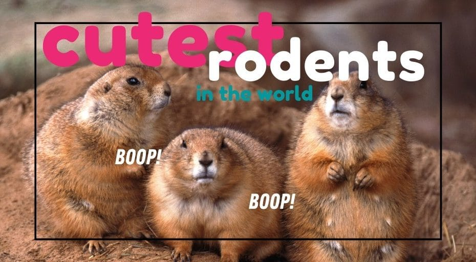 cutest rodents in the world