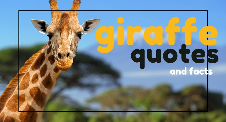 giraffe quotes and facts