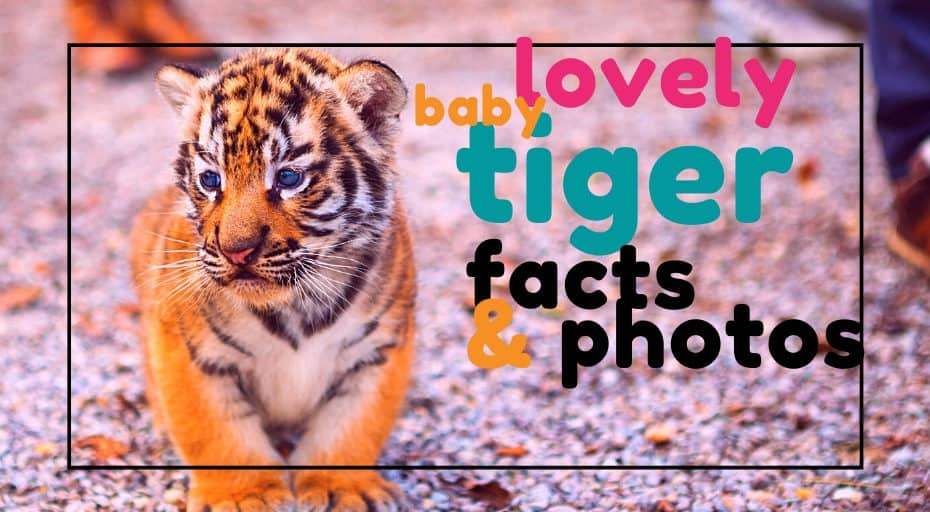 baby tiger facts and photos