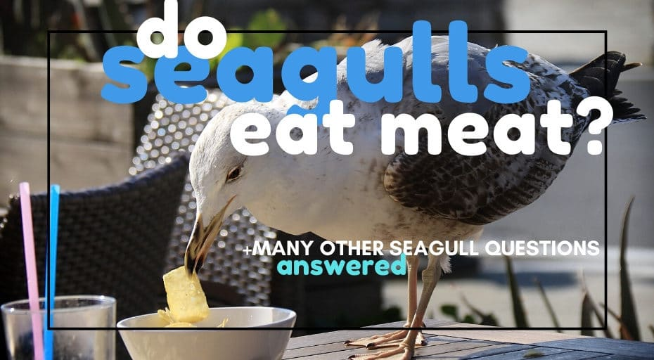 do seagulls eat meat