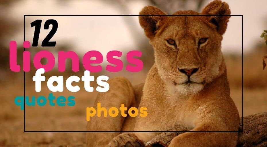 Lioness Facts, Photos & Quotes