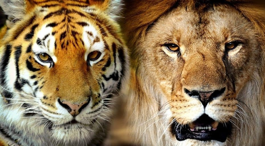Are Tigers Bigger Than Lions