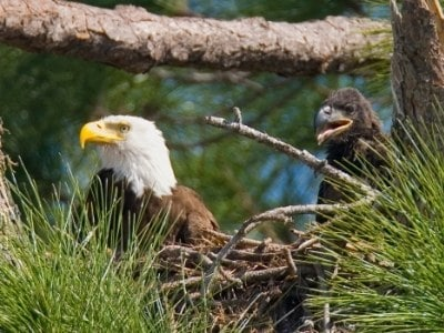 Mother bald eagle and baby eagle