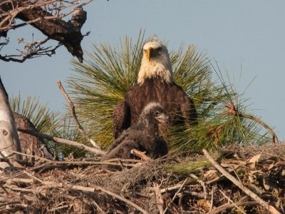 Baby eagle in a nest