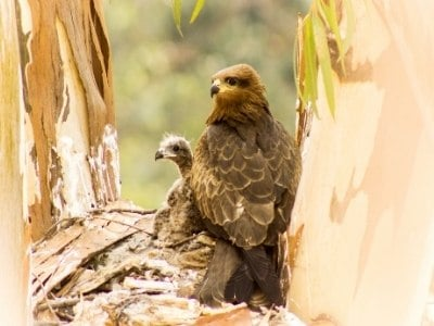 Baby eagle with mom