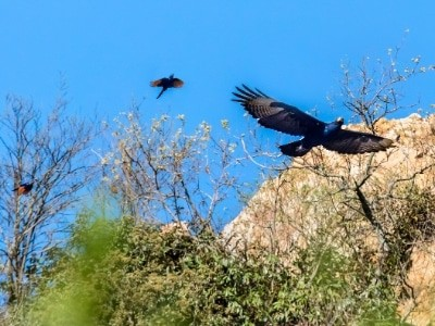Black baby eagles flying with mom