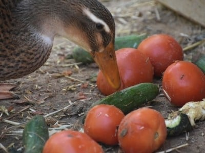 Duck eating a tomato