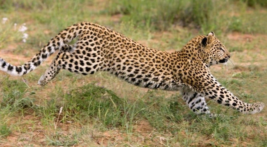 How Fast Is A Leopard