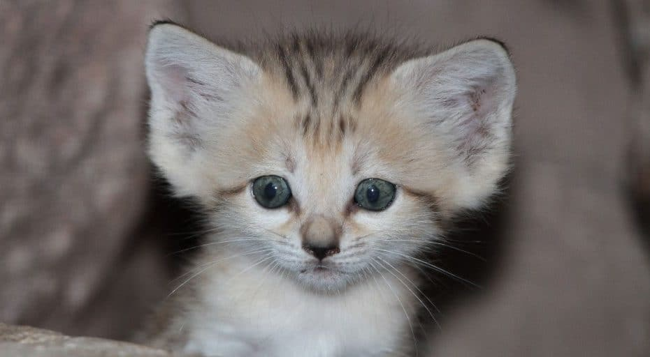 Baby sand cats