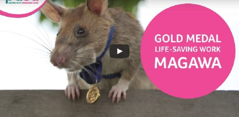 A rat awarded a tiny gold medal for his bravery