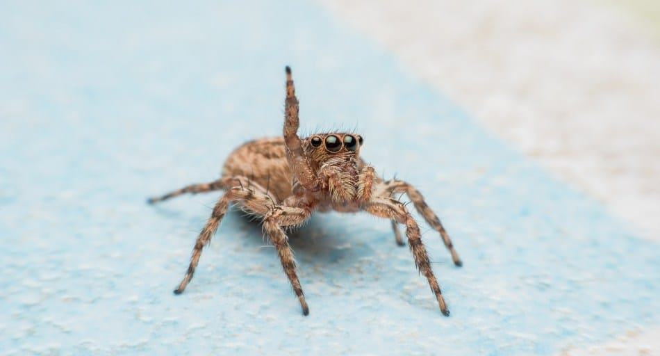 Are Jumping Spiders Poisonous