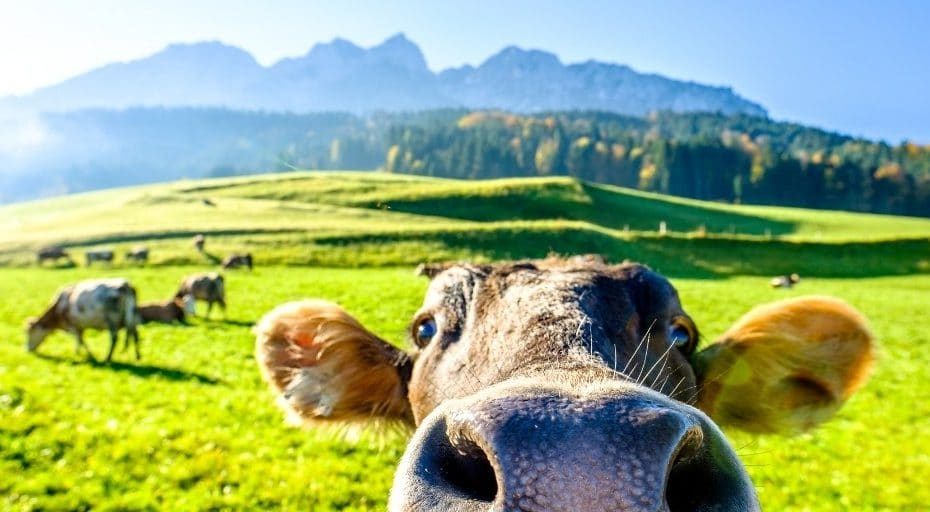 Are Cows Smarter Than Dogs