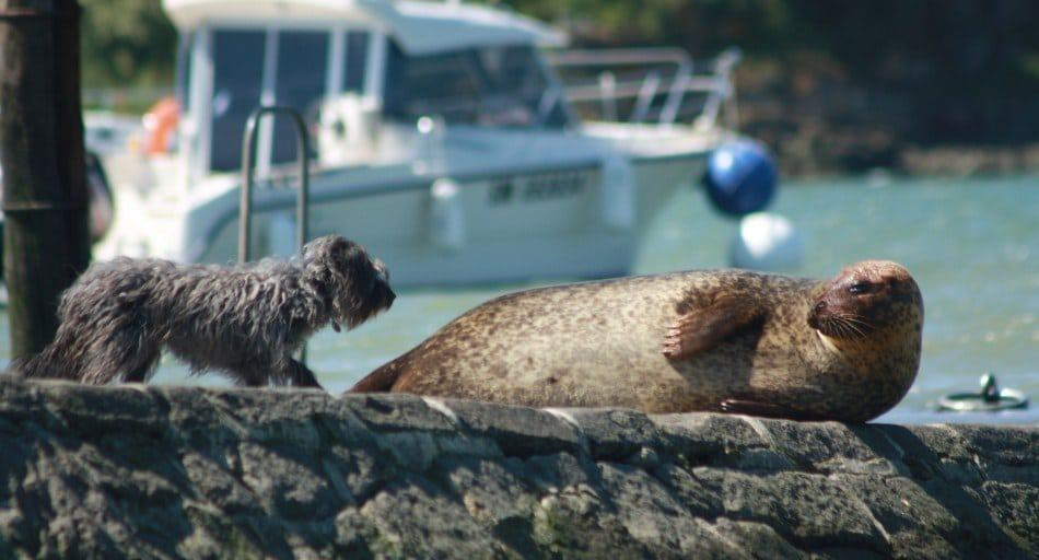 Are seals related to dogs