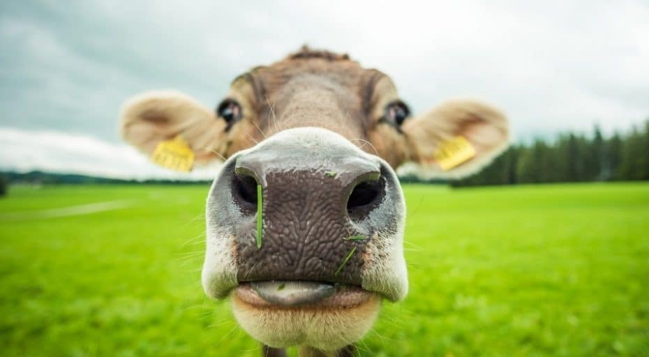 Do Cows Have Whiskers