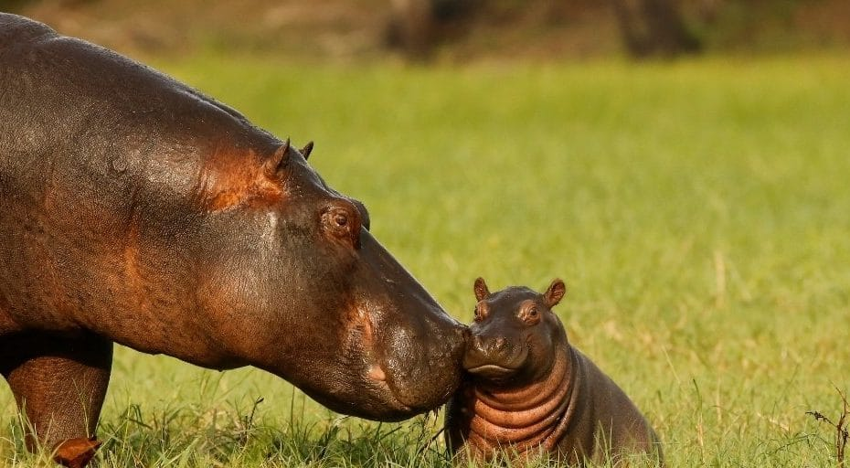 Do hippos have tails