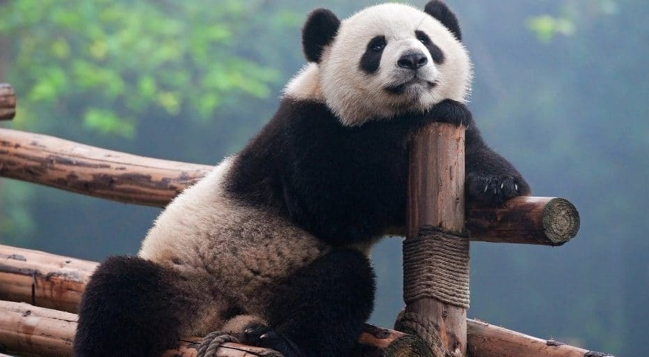 Do pandas have whiskers
