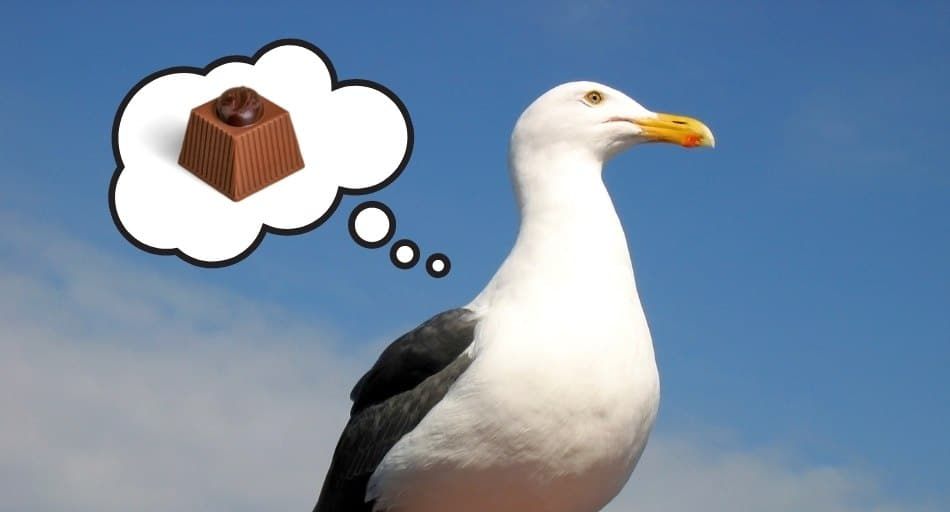 Can Seagulls Eat Chocolate