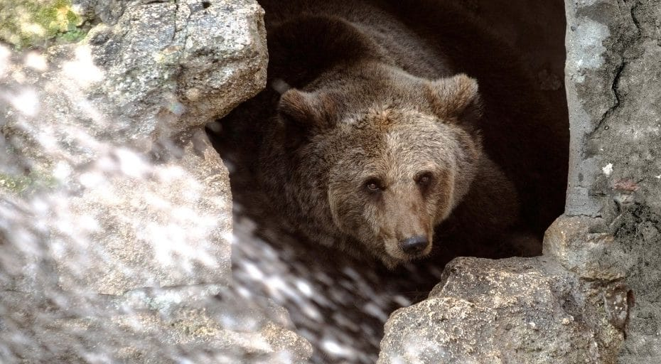 Do Bears Live In Caves