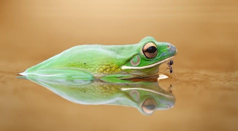 Do Frogs Eat Ants?