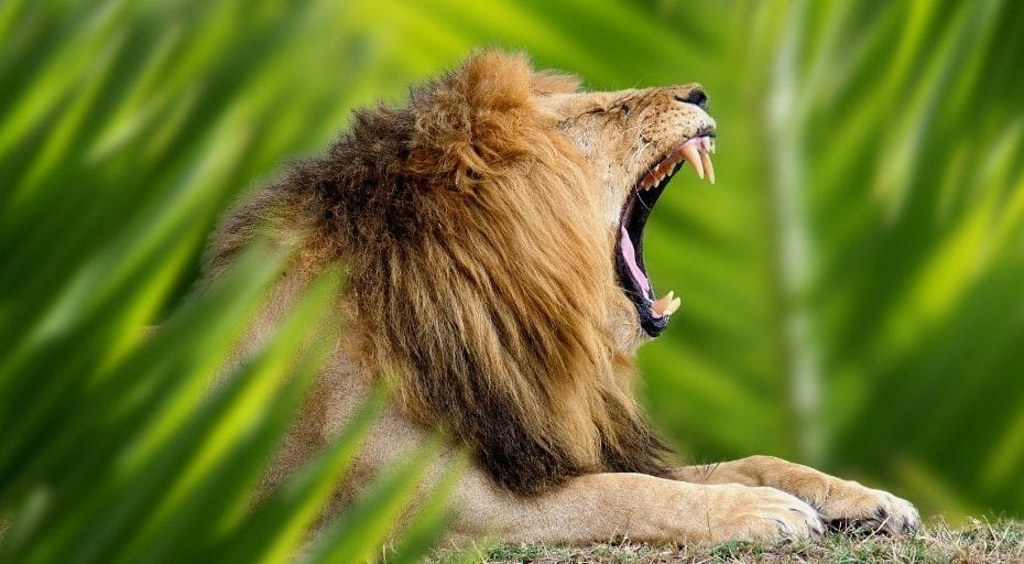 Do Lions Live In The Jungle?
