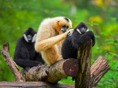 Gibbons grooming