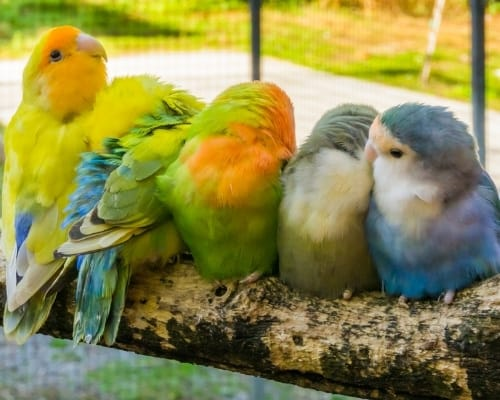 Loving family of small parrots sitting close together and cuddling on a branch