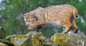 Are Bobcats Nocturnal?