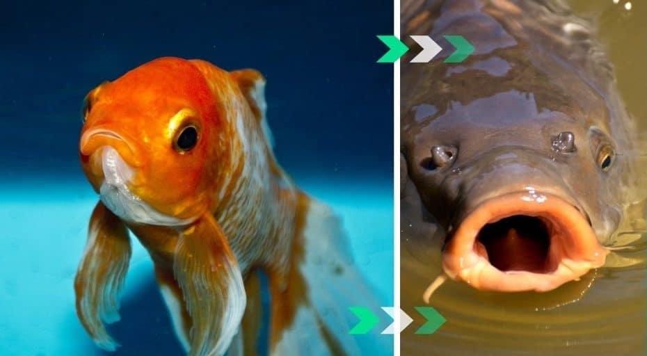 Are Goldfish Carp?