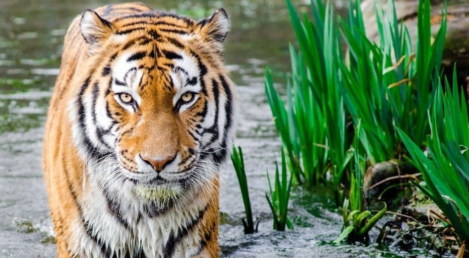 Are There Tigers In South America?