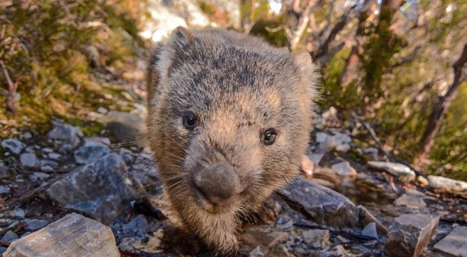 Are Wombats Friendly?