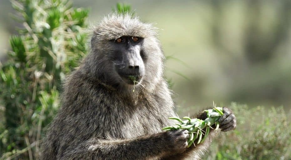 Do Baboons Eat Meat?