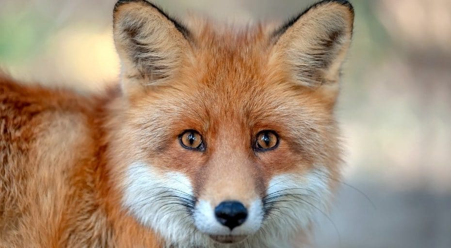 Do Foxes Eat Snakes?