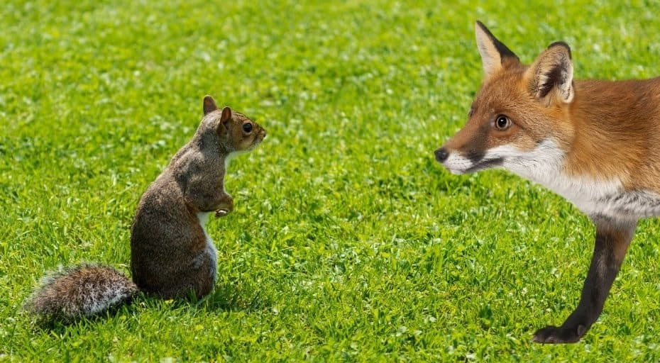 Do Foxes Eat Squirrels?