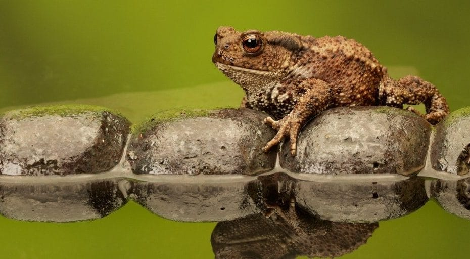 Do Toads Live In Water?