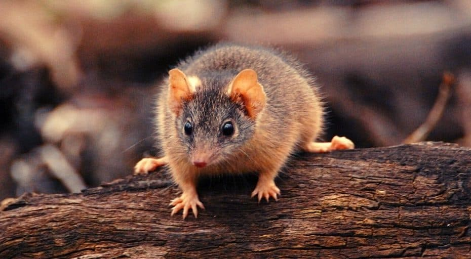 25 Facts About Antechinus
