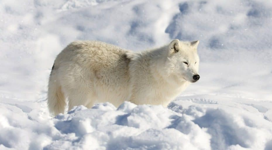 Are There Wolves In Antarctica?