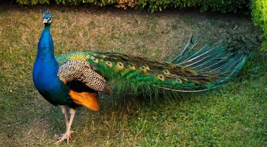 What Is The Difference Between Peacocks and Peahens?