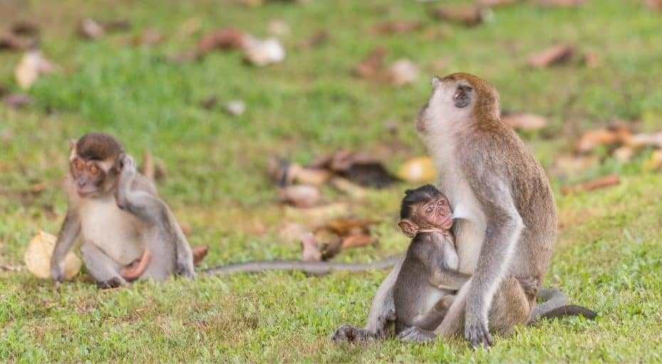 Why Do Monkeys Steal Other Monkeys' Babies?