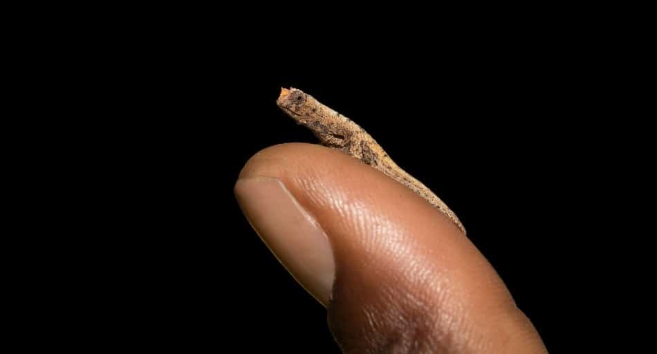 Facts About Brookesia Micra