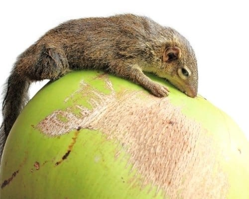 Pen-Tailed Tree Shrew gets high