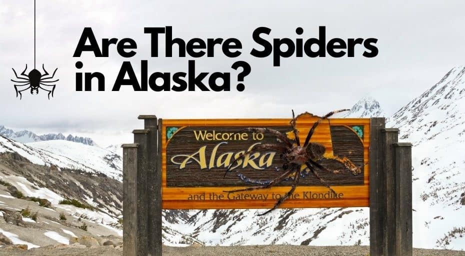 Are There Spiders in Alaska?