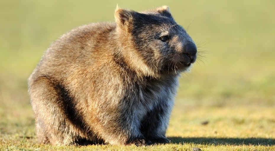 Are Wombats Rodents?