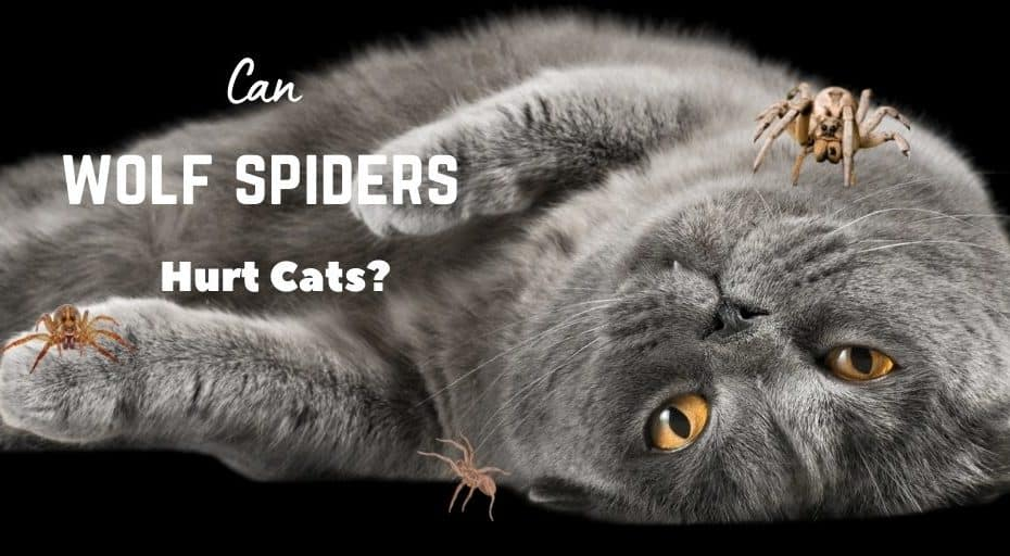 Can Wolf Spiders Hurt Cats?