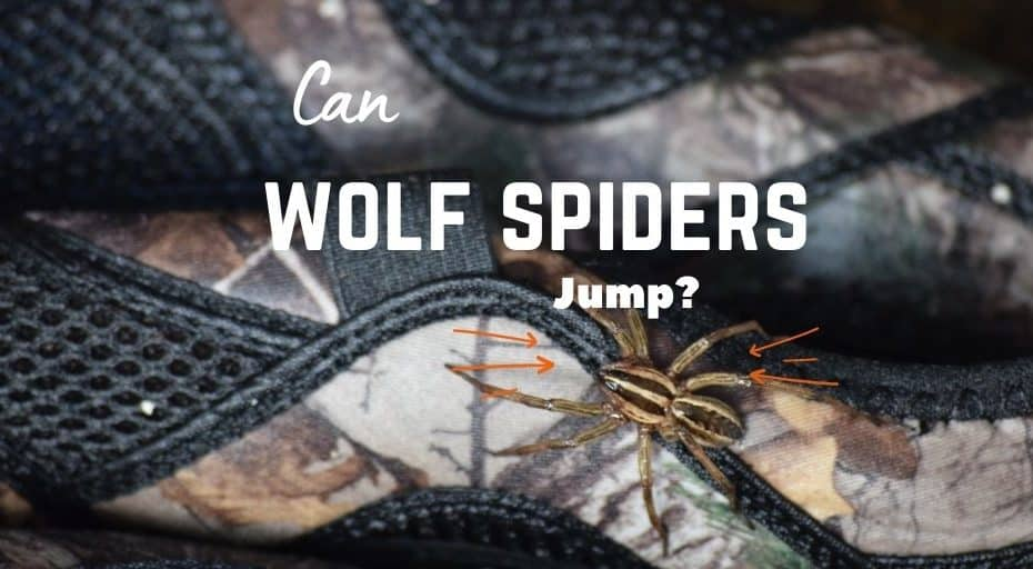 Can Wolf Spiders Jump?