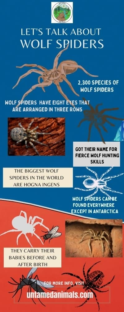 Wolf Spiders Facts Infographic